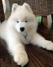 Bear the Samoyed
