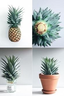 ananas- ukorzenianie
