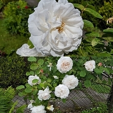 moje fotografie- róże