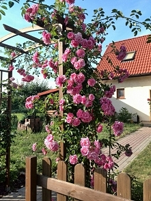 Róża na pergoli... marzenie.
