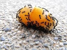 Sposób na mrówki w domu – p...
