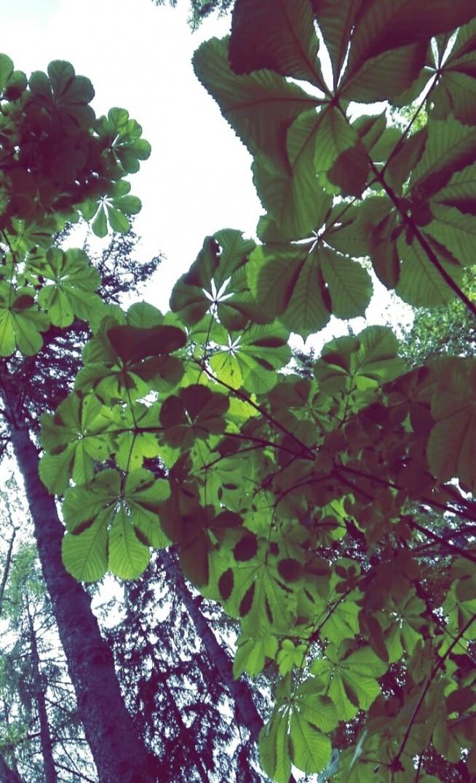 Liście kasztana