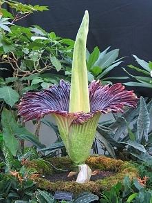 najwikeszy kwiat swiata w naszym ogrodzie botanicznym