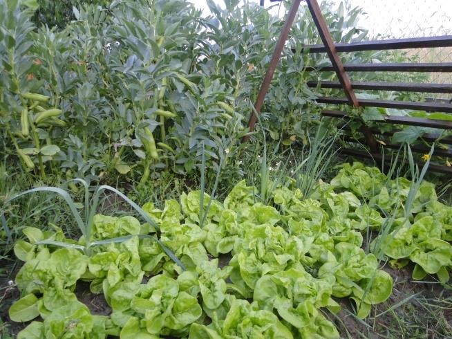 Mój warzywniczek :D taka dumna! Bób, sałata, ogórki, (tylko por kupiony jako małe sadzonki) - wszystko inne z ziarenek samodzielne wysiane :D