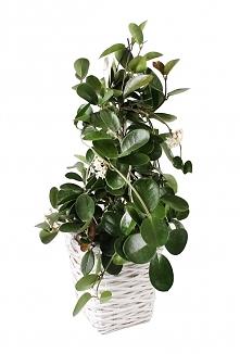 Ten piękny duży zielony kwiatek w osłonie z wikliny na pewno nie wyglądałby tak ładnie w zwykłej plastikowej doniczce!