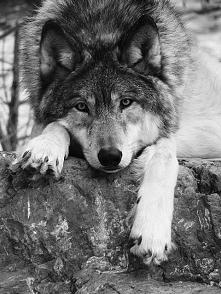 W środku każdy z nas więzi wilka.