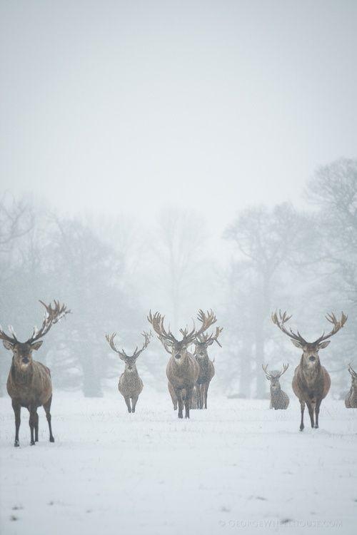 Renifery zimą