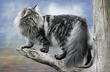 #2 Kot norweski
