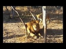 lwica straszy lwa