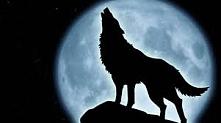 wilk wyjacy do ksiezyca