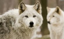 wilk spojrzenie
