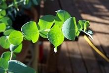 Eukaliptus – właściwości le...