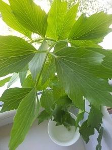 Piękna i aromatyczna roślina zielona, sięgająca do 1,5 metra. Niewymagająca, do Europy trafiła z Iranu. Uwielbia słońce i pulchną lekką glebę. Będzie rosła prawie wszędzie. W og...