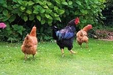 Smaczny i zdrowy… kurczak Z...