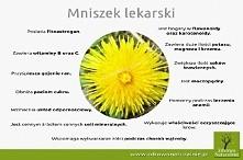 Mniszek lekarski!
