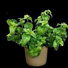 Rungia Klossii - grzybowe zioło