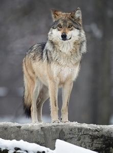 Wilk obserwujący teren.