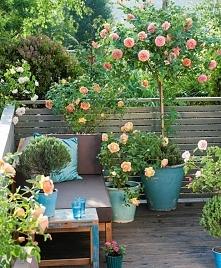 Dzikie róże na balkonie