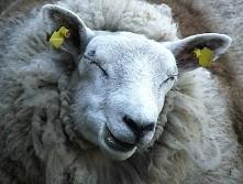 funny sheep owca