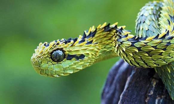 Wąż Atheris hispida. Dziękuje za podanie poprawnej nazwy użytkownikowi BlondLisiczek.