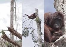 Przerażony orangutan przytula się do ocalałego drzewa...Kolejny raz potwierdz...