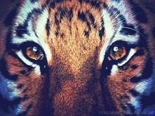 oczy tygryska <3
