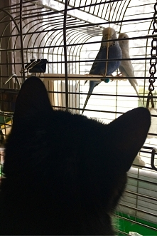cat vs budgies