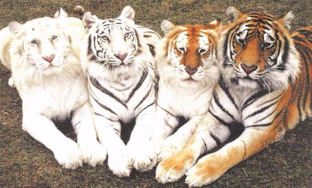 tygryski <3