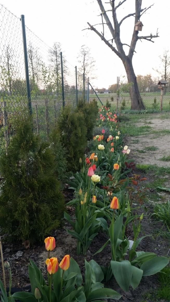 Tulipany cz.2