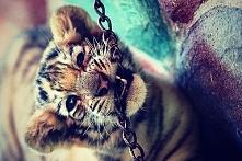 Cute tiger <3