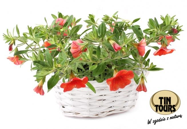 Biały koszyk wiklinowy na kwiatki od koszyki.net.pl