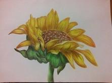 Słonecznik.  Mój rysunek
