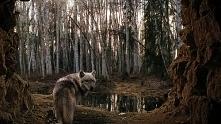 Wilki to cudowne zwierzęta <3