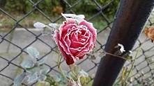 oszroniona (ogrod mamy)