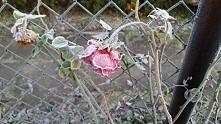 oszroniona róża