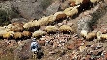 Pasterz prowadzi stado owiec, Armenia