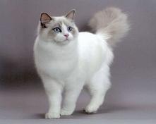 5 najładniejszych kotów ras...