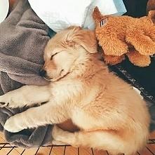 Mały piesio mocno śpi.