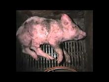Czego producenci mięs nam n...