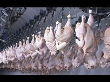 Kurczak. Kłamstwo Jedzenia - Film Dokumentalny