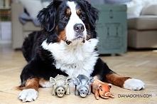 Gdybym mogła odrodzić się jako pies, byłabym berneńskim psem pasterskim. Ten ...