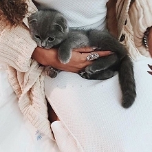 sweet british cat
