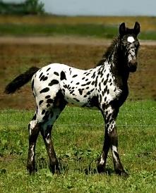 Koń Appaloosa – rasa koni gorącokrwistych. Ta rasa została wyhodowana w Amery...