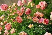 Róża Alchymist