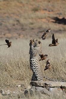 Gepard*