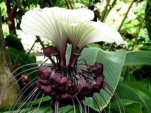 Kwiat nietoperz - Tacca cha...