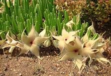 Stapelia gigantea (Stapelia L.)- Wieloletnie, wiecznie zielone sukulenty łodygowe o kwiatach przypominających gnijące zwierzęce ciało oraz wydzielających zapach padliny. W przyp...