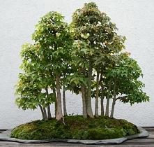 las bonsai