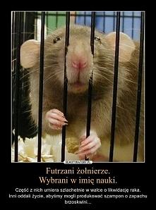 szczurki laboratoryjne