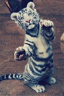 Small Tiger <3